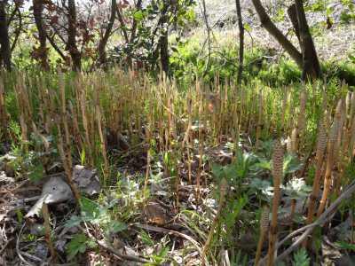 富浜緑地情報♪桜の開花、ユキヤナギの花、つくしが見られます!_d0338682_15032544.jpg