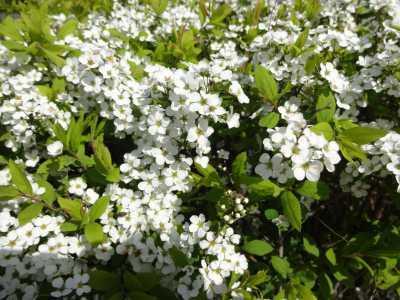 富浜緑地情報♪桜の開花、ユキヤナギの花、つくしが見られます!_d0338682_15044640.jpg