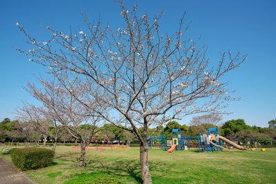 富浜緑地情報♪桜の開花、ユキヤナギの花、つくしが見られます!_d0338682_15184084.jpg