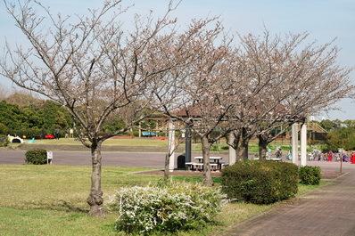 富浜緑地情報♪桜の開花、ユキヤナギの花、つくしが見られます!_d0338682_15185360.jpg