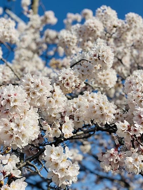 桜染め楽しんでます_e0221697_16182890.jpg