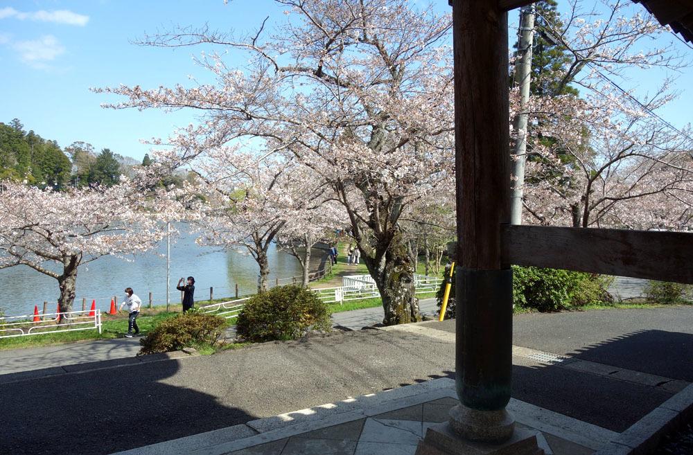 八鶴湖畔の桜満開_b0114798_16440129.jpg