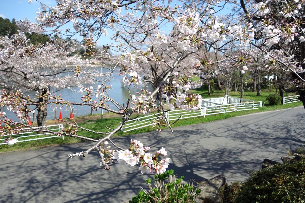 八鶴湖畔の桜満開_b0114798_16441777.jpg