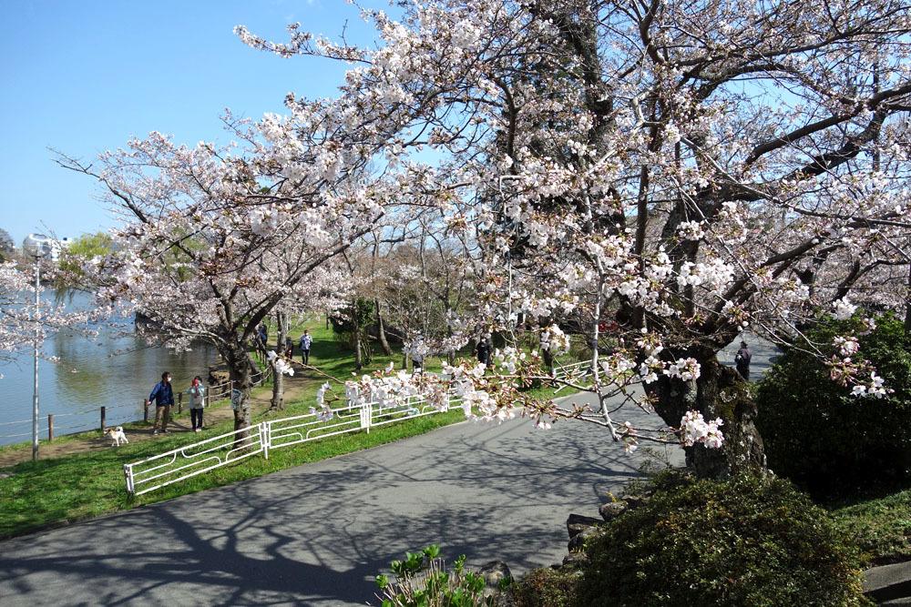 八鶴湖畔の桜満開_b0114798_16443358.jpg