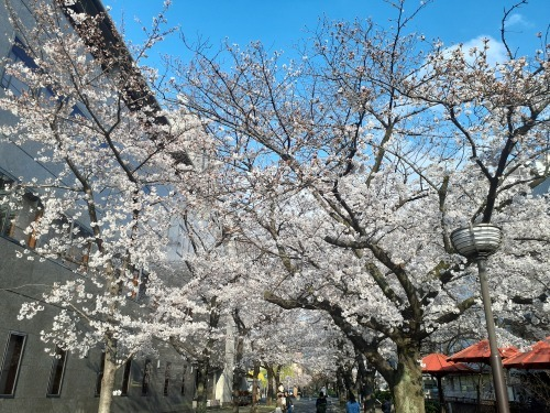 祇園白川の桜🌸は今が見頃です_d0162300_11451743.jpg