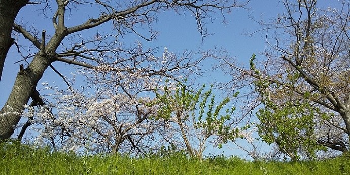 桜の見頃はもう少し先_c0280322_15293355.jpg