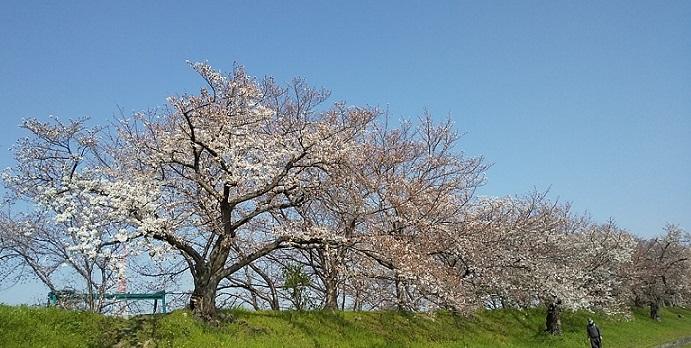 桜の見頃はもう少し先_c0280322_15300610.jpg