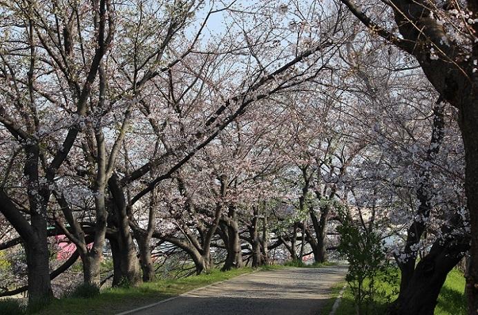 桜の見頃はもう少し先_c0280322_15311492.jpg