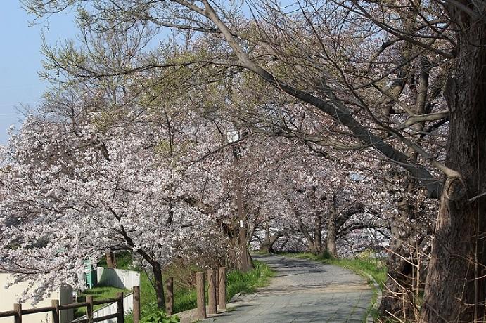 桜の見頃はもう少し先_c0280322_15313470.jpg