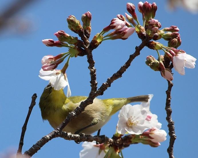 桜の見頃はもう少し先_c0280322_15335290.jpg
