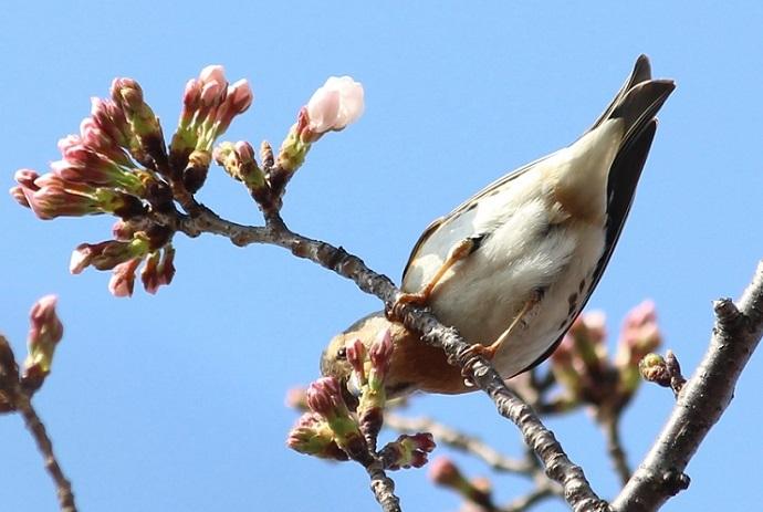 桜の見頃はもう少し先_c0280322_15363723.jpg