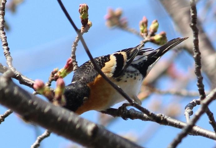 桜の見頃はもう少し先_c0280322_15374064.jpg