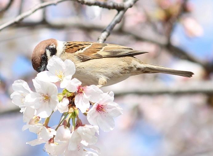 桜の見頃はもう少し先_c0280322_15383608.jpg