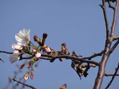 中川口緑地情報♪桜の開花のお知らせ_d0338682_16001002.jpg