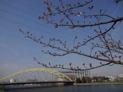 中川口緑地情報♪桜の開花のお知らせ_d0338682_16003539.jpg
