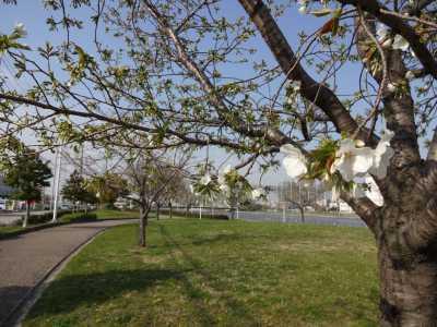 中川口緑地情報♪桜の開花のお知らせ_d0338682_16010292.jpg