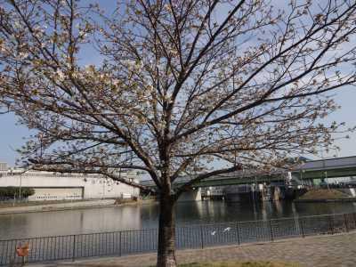 中川口緑地情報♪桜の開花のお知らせ_d0338682_16011135.jpg