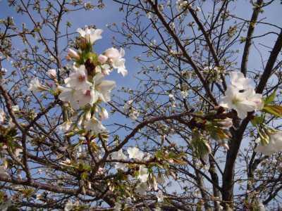 中川口緑地情報♪桜の開花のお知らせ_d0338682_16012649.jpg
