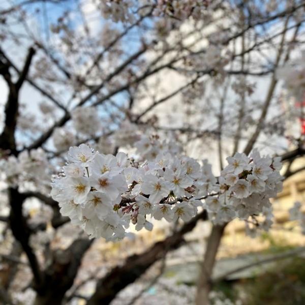 ありがとう、桜_f0299682_21052102.jpg