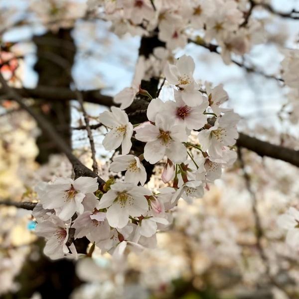 ありがとう、桜_f0299682_21055415.jpg
