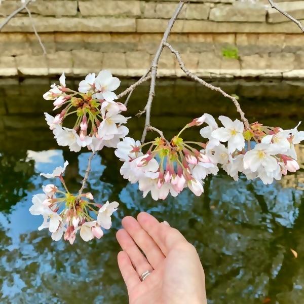 ありがとう、桜_f0299682_21064630.jpg