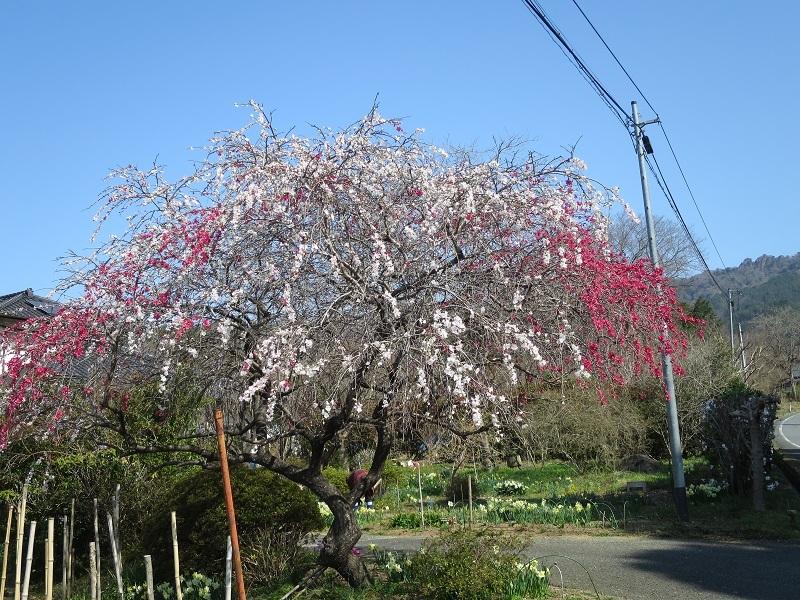 山麓にも春の息吹_b0369813_11375040.jpg
