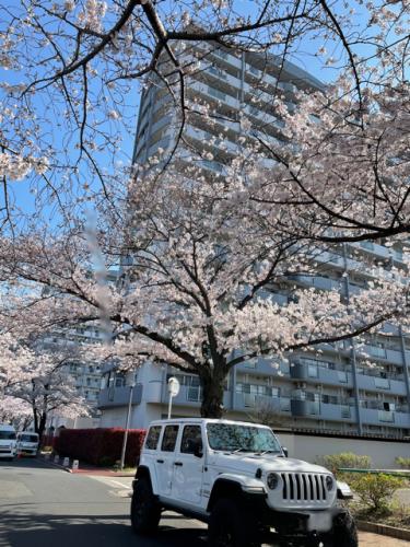 桜とJeep ラングラー_b0123820_16523529.png