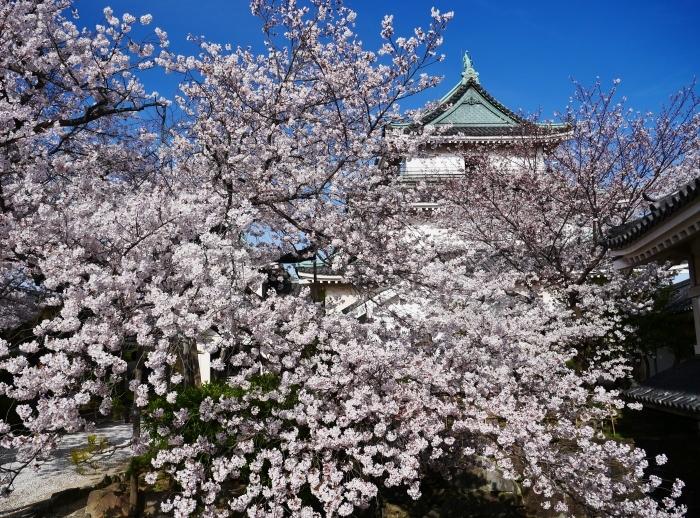 桜満開の和歌山城へ  2021-03-28 00:00 _b0093754_23260958.jpg