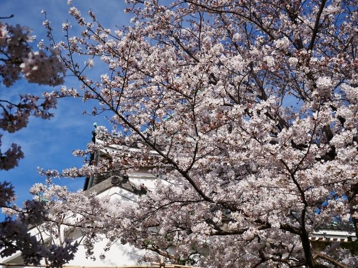 桜満開の和歌山城へ  2021-03-28 00:00 _b0093754_23262812.jpg