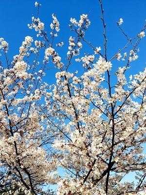 石屋川沿いの満開の桜♪_b0194861_20033221.jpg