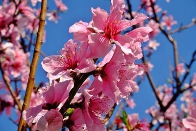 石屋川沿いの満開の桜♪_b0194861_20055312.jpg