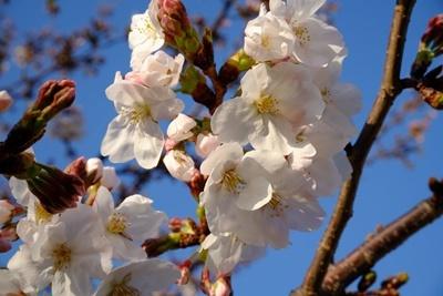 石屋川沿いの満開の桜♪_b0194861_20070156.jpg