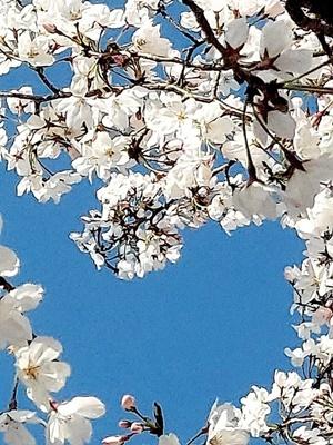 石屋川沿いの満開の桜♪_b0194861_20124090.jpg
