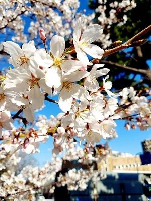 石屋川沿いの満開の桜♪_b0194861_21351575.jpg