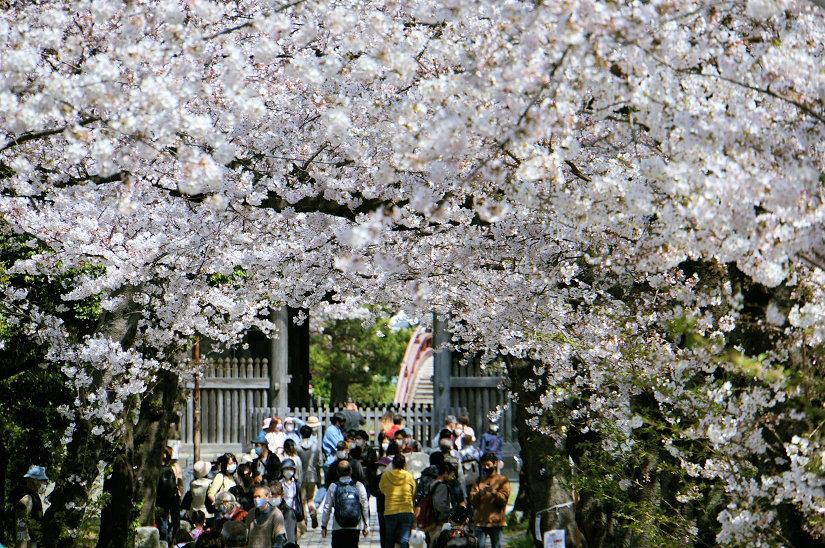 ★春爛漫、桜のトンネルになった参道、境内も桜満開、横浜/称名寺!_c0168984_15481635.jpg