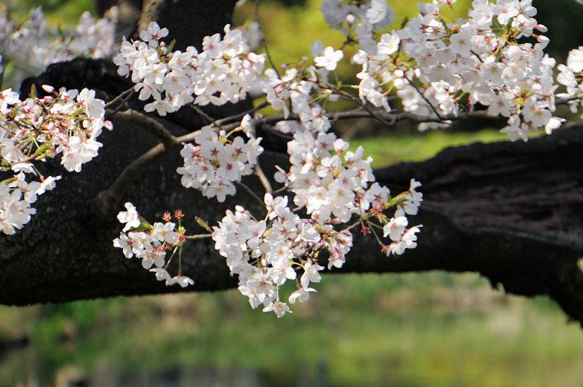★春爛漫、桜のトンネルになった参道、境内も桜満開、横浜/称名寺!_c0168984_15495382.jpg