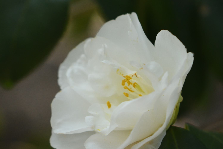 ■ ツバキは春がいい_d0334796_21513542.jpg
