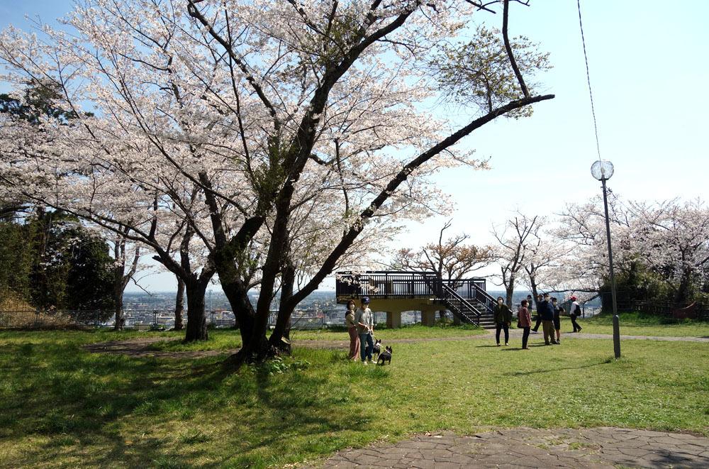 東金のサクラ満開 桜、さくら、サクラ_b0114798_16574597.jpg