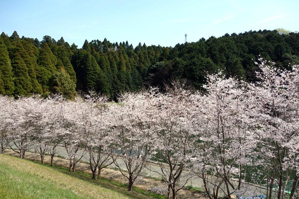 東金のサクラ満開 桜、さくら、サクラ_b0114798_16591597.jpg