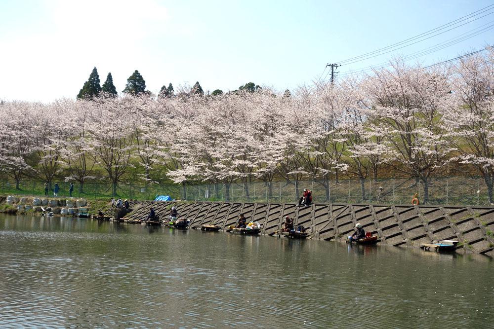 東金のサクラ満開 桜、さくら、サクラ_b0114798_16594286.jpg
