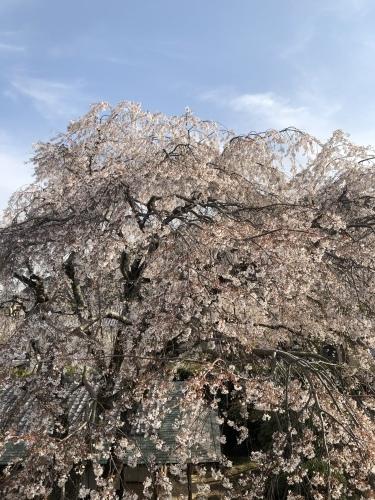 桜の樹の下で篠笛の音色_a0197730_22505269.jpeg