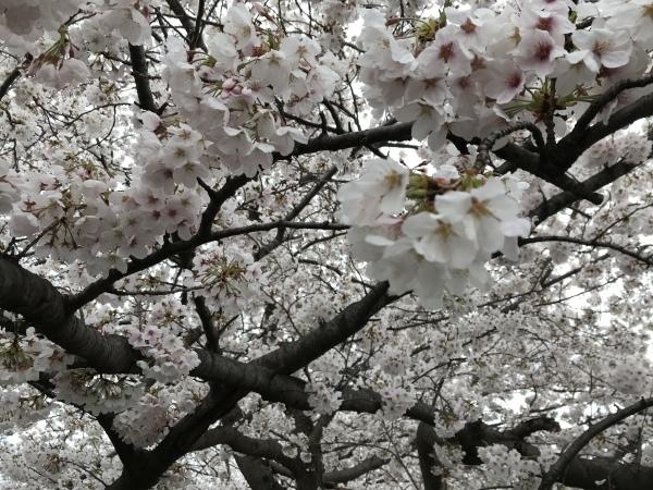 黒目川は桜が満開_d0168831_17462979.jpeg