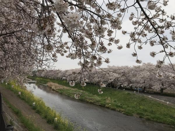 黒目川は桜が満開_d0168831_17470232.jpeg