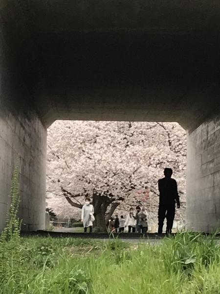 黒目川は桜が満開_d0168831_17473534.jpeg