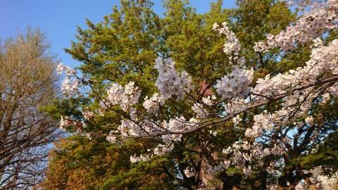 桜が満開。Cherry blossoms at their peak!_c0019088_09473059.jpg