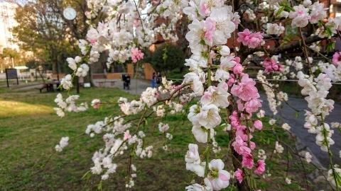 桜が満開。Cherry blossoms at their peak!_c0019088_10052887.jpg