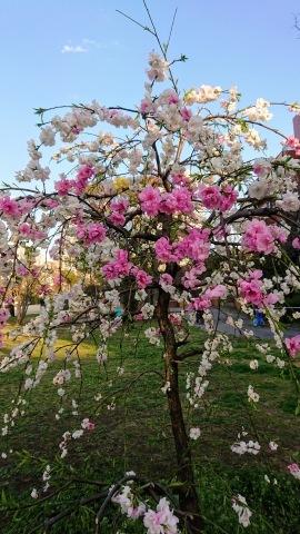 桜が満開。Cherry blossoms at their peak!_c0019088_10073838.jpg