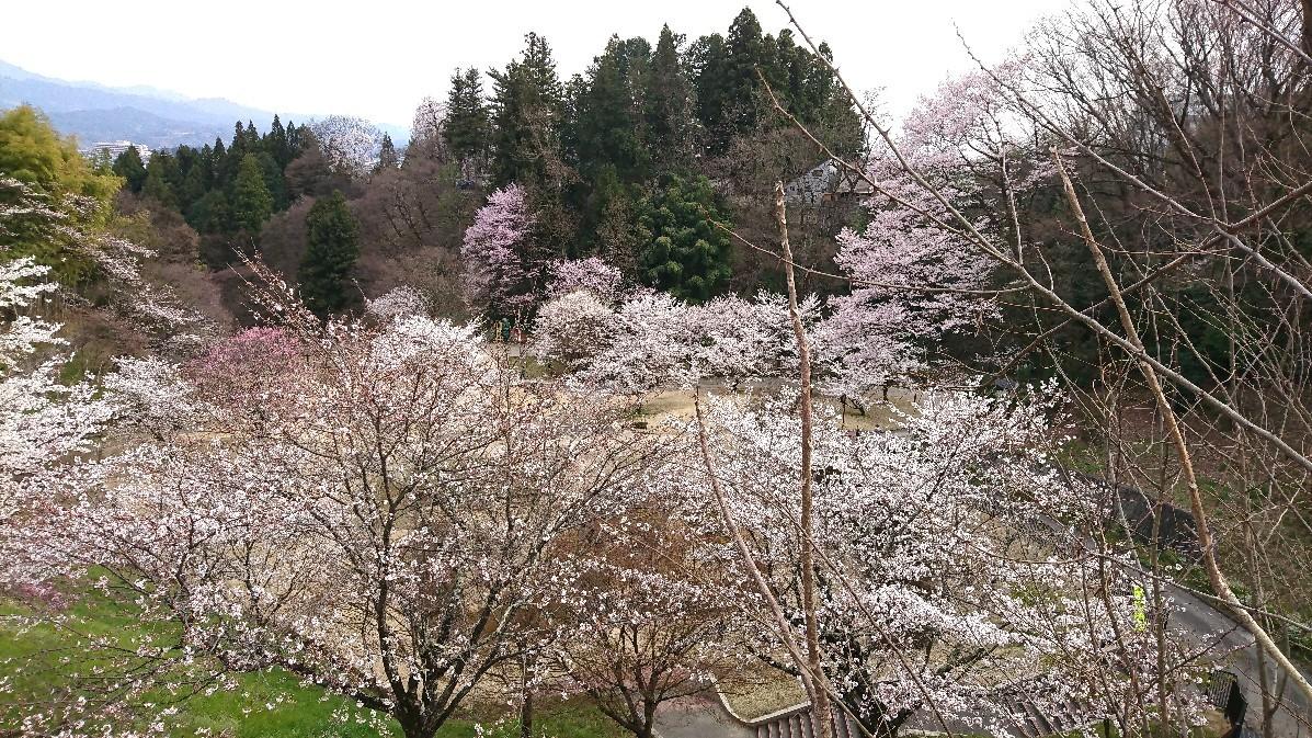 桜に菫にムスカリに水仙…_e0124493_17130773.jpg