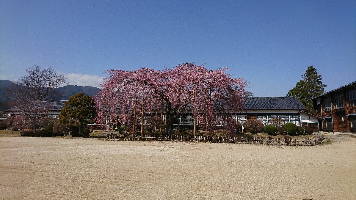 桜に菫にムスカリに水仙…_e0124493_17164508.jpg
