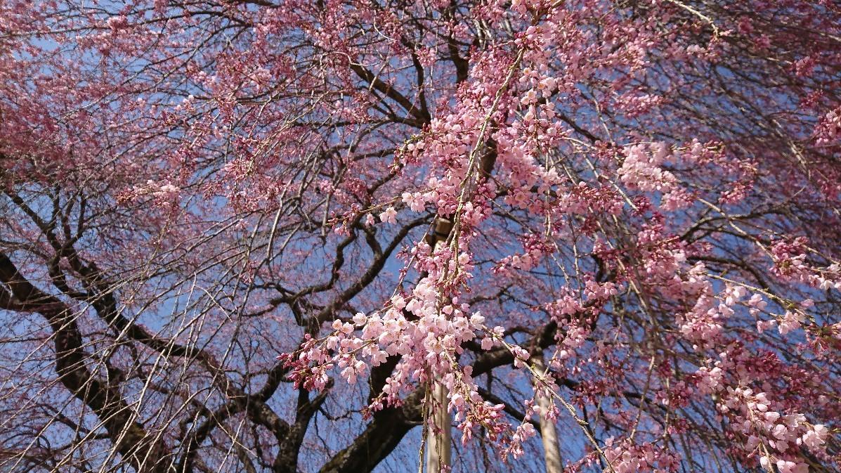 桜に菫にムスカリに水仙…_e0124493_17164605.jpg